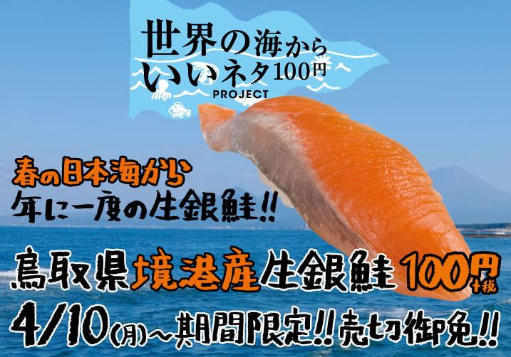 春の日本海から年に一度の生銀鮭!! 鳥取県境港産生銀鮭  1皿1貫100円+税